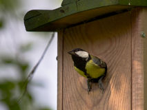 Female Great tit on nesting box Stock Photos
