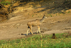 Female Greater Kudu Royalty Free Stock Image