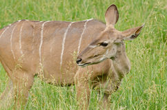 Female Greater Kudu Stock Images