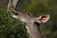 Female greater kudu antelope Royalty Free Stock Images