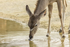 Female Greater Kudu drinking water Royalty Free Stock Photography