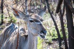 Female greater kudu with much more words. Only for your request in order to satisfy you with blab la blab la blab la royalty free stock images