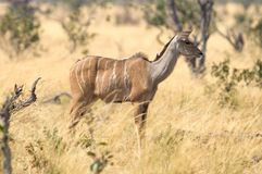 Female greater Kudu in Namibia stock images