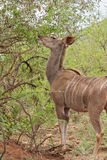Female greater Kudu in the Pilanesberg Game Reserve, South Africa Stock Photography