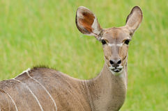 Female Greater Kudu Portrait Royalty Free Stock Photo