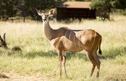 Female Greater Kudu standing in the grass in a field Stock Photography