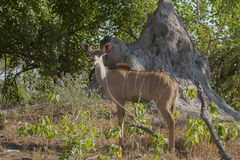 Female Greater Kudu by Termite Mound Royalty Free Stock Photo