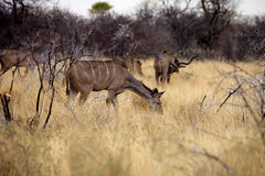 Female Greater kudu, Tragelaphus strepsiceros in the Etosha National Park, Namibia Stock Photography