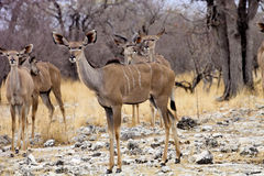 Female Greater kudu, Tragelaphus strepsiceros in the Etosha National Park, Namibia Stock Photos
