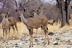 Female Greater kudu, Tragelaphus strepsiceros in the Etosha National Park, Namibia Stock Photos