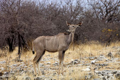 Female Greater kudu, Tragelaphus strepsiceros in the Etosha National Park, Namibia Stock Photo