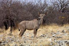 Female Greater kudu, Tragelaphus strepsiceros in the Etosha National Park, Namibia Stock Photo