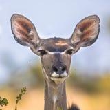 Female Greater kudu stock image
