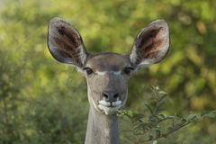 Female Greater Kudu (Tragelaphus strepsiceros) South Africa Royalty Free Stock Photo