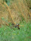 Female Greater Painted Snipe between short grass Stock Images
