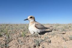 Female of Greater sand plover Charadrius leschenaultii on the nest stock photo