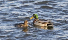 The female greater scaup Aythya marila and mallard drake. Mississippi river, USA Royalty Free Stock Photography