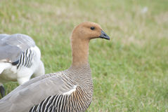 Female Greater Uplands Goose. Female Greater Uplands Goose on the background of meadows Stock Photos