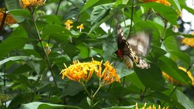 Female green birdwing butterfly. Close up of a female green birdwing butterfly feeding on a yellow ixoria flower stock video