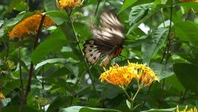Female green birdwing butterfly feeding. Close up of a beautifil green birdwing butterfly feeding on a yellow flower stock footage
