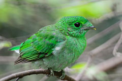 Female Green Broadbill Stock Photo