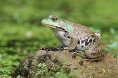 Female Green Frog and Young Frogs Stock Photos