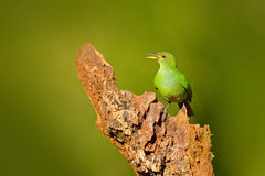 Female of Green Honeycreeper, Chlorophanes spiza, exotic tropic malachite green and blue bird form Costa Rica. Tanager from tropic Royalty Free Stock Photography