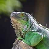 Female Green Iguana Royalty Free Stock Photo
