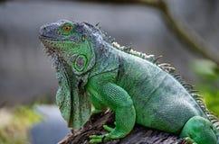 Female Green Iguana Royalty Free Stock Image