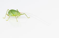 Female green katydid Stock Photos