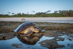 Female Green sea turtle on the beach. royalty free stock photography