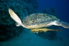 Female green turtle Stock Photo
