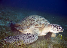 Female green turtle Stock Photos
