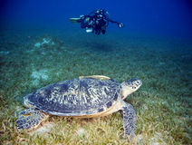 Female green turtle and diver Stock Photo