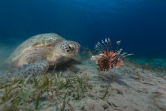 Female green turtle and lionfish in the Red Sea. Female green turtle and lionfish in the Red Sea Royalty Free Stock Image