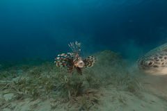 Female green turtle and lionfish in the Red Sea. Stock Photos