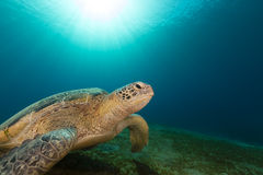 Female green turtle in the Red Sea. Royalty Free Stock Photos