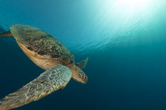 Female green turtle in the Red Sea. Stock Photo