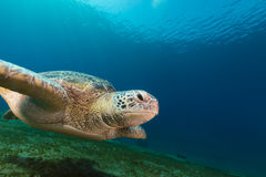 Female green turtle in the Red Sea. Stock Photography