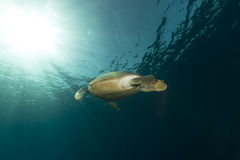 Female green turtle in the Red Sea. Stock Images