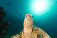 Female green turtle in the Red Sea. Royalty Free Stock Image
