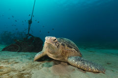 Female green turtle in the Red Sea. Royalty Free Stock Images