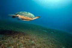 Female green turtle swimming Royalty Free Stock Image