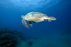 Female green turtle swimming Royalty Free Stock Images