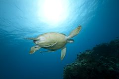 Female green turtle swimming Stock Image