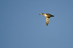 Female Green-Winged Teal Flying in a Blue Sky Stock Photography