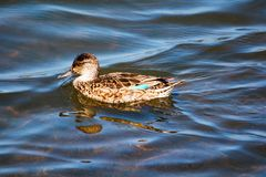 Female green winged teal hen duck swimming. Green winged teal hen duck swimming in the water by Pacific Coast Highway.  Female with brown speckled plumage and Royalty Free Stock Images