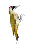 Female green woodpecker isolated on white background Royalty Free Stock Images
