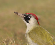 Female Green Woodpecker (Picus viridis) Stock Photos