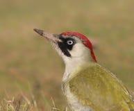 Female Green Woodpecker (Picus viridis) stock photos